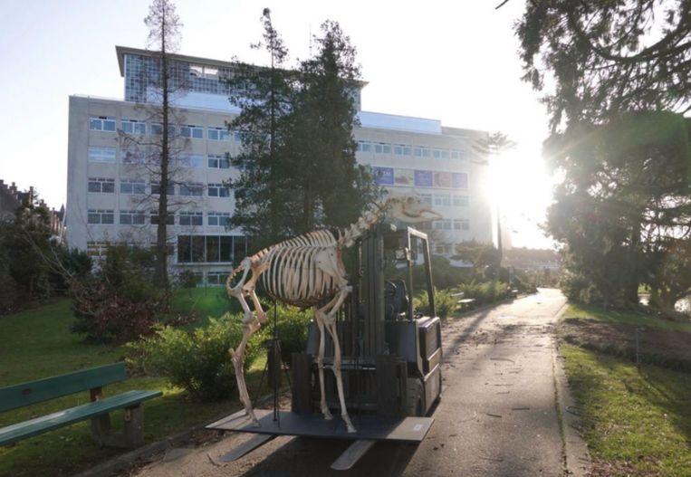 Het skelet van een okapi wordt naar het nieuwe museum gebracht.