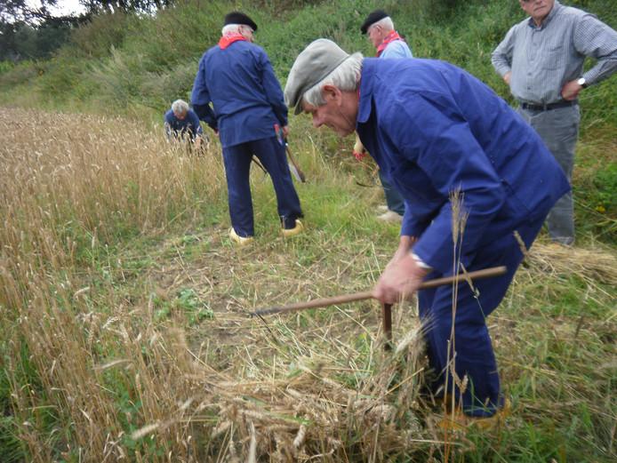Omdat het rogge is vervangen door nog niet zo hoog tarwe, moet Lambert van Erp bukken om het te maaien.