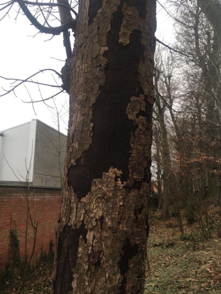 Deze esdoorn in het Broeders Maristenpark in Pittem is getroffen door roetschors.