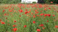 In Vlaanderens velden bloeien de klaprozen