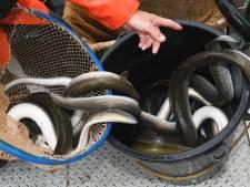 Superveel palingen gevangen: is de vis op de weg terug?