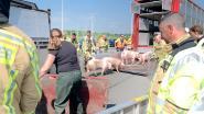Vrachtwagen met 187 varkens gekanteld op E40 in Oostkamp: snelweg bijna volledig versperd