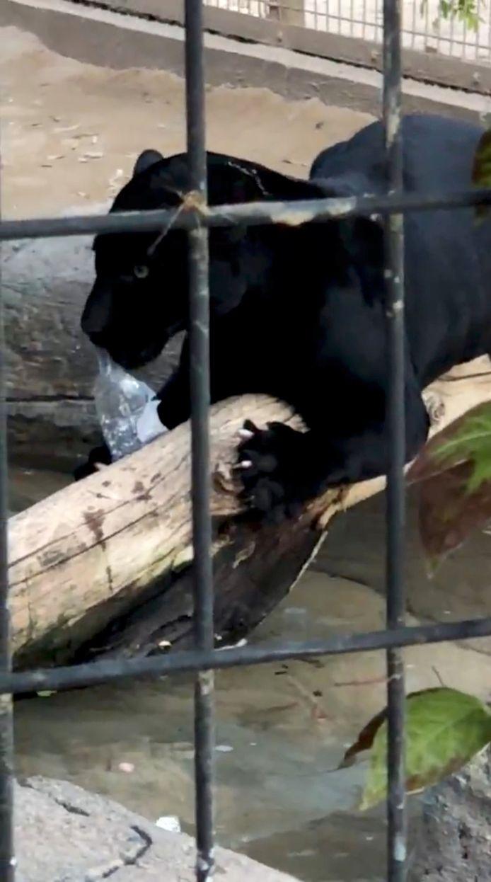 De  jaguar kon worden afgeleid met een waterflesje.