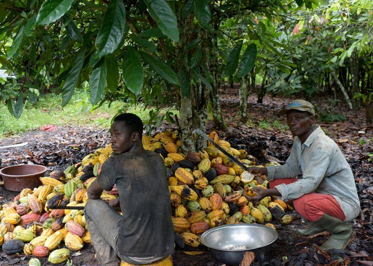 In Ivoorkust zitten bijna 40.800 boeren in het Cocoa Life-programma. Beeld AFP