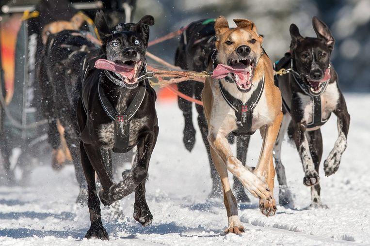 Honden rennen door de sneeuw in Polen. Beeld epa