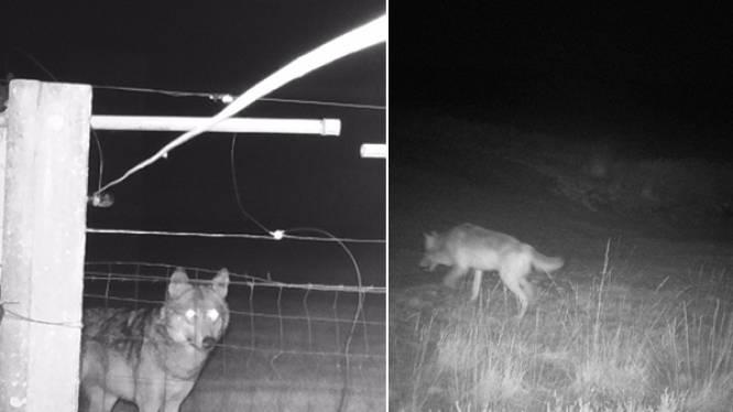 """""""Op pad voor foto's van de wolf? Dan ben je een amateur"""": Jan Loos reageert scherp nadat quads en fotografen onderschept worden"""