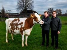 Truus 4 is de mooiste koe van het land