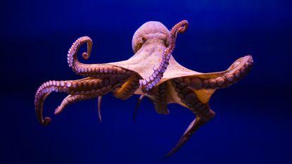 """""""Octopuskwekerijen vormen bedreiging voor voedselketen"""""""