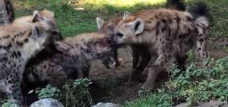Nieuwe hyena in Beekse Bergen flink gewond na aanval door soortgenoten