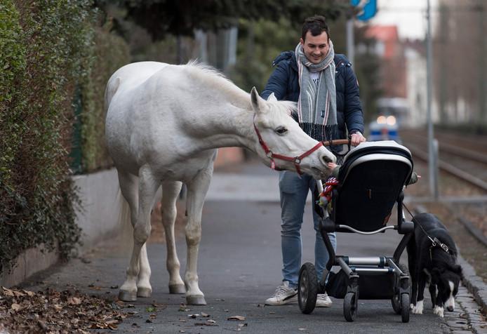 Er loopt een paard (los) door de straat: schimmel Jenny is een beroemdheid in Frankfurt