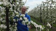 Appelbloesems zorgen voor vroege lente
