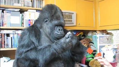 Beroemde gorilla Koko die communiceerde in gebarentaal overleden