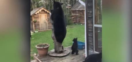 Il filme une famille d'ours qui explore son jardin