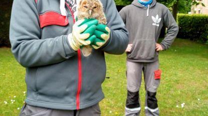 """Jonge bosuil gevonden op begraafplaats in Assebroek: """"Dier was verzwakt en is overgebracht naar vogelopvangcentrum"""""""