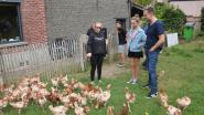 Ark van Pollare redt even geen kippen meer door pseudovogelpest