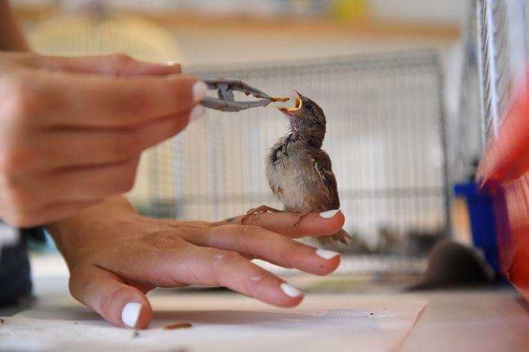 Ook dieren hebben het zwaar nu Frankrijk gebukt gaat onder een hittegolf. In het dierenhospitaal in Laroque in Zuid-Frankrijk krijgt deze mus daarom met de pincet een extra hapje van een vrijwilliger aangereikt.  Beeld AFP