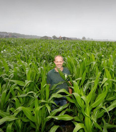Het mais is hoog genoeg: doolhof in Malden is weer open