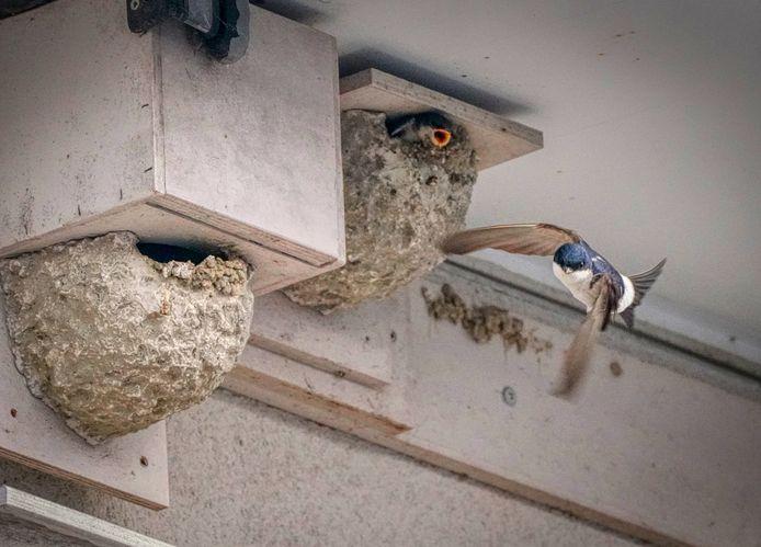 De huiszwaluwen.