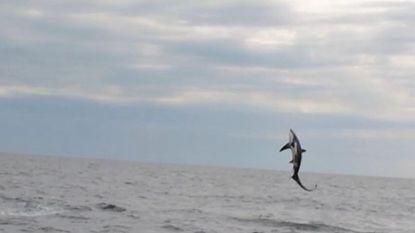 Zeer zeldzame voshaai gespot in Noordzee: beelden tonen hoe hij als dolfijn uit water springt