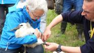 VIDEO. Ooievaarsjongen in het Zwin worden geringd