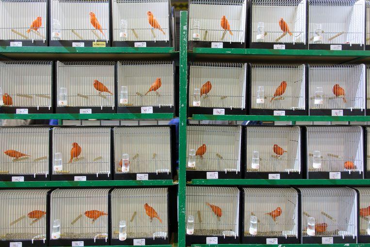 In de Zwolse IJsselhallen worden ruim 11.000 wedstrijdvogels beoordeeld waaronder deze rode kanaries. Beeld Herman Engbers