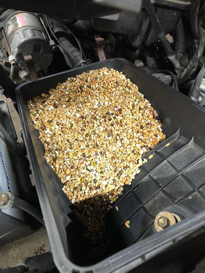Ruim een kilo aan zaad vonden automonteurs van garage Grooters in het luchtfilter van de Toyota Camry. Waarschijnlijk heeft een muis zijn wintervoorraad opgeslagen in het filter.