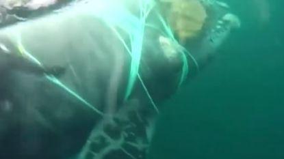 Walvis die vastzit in vissersnet op het nippertje gered van vreselijke dood