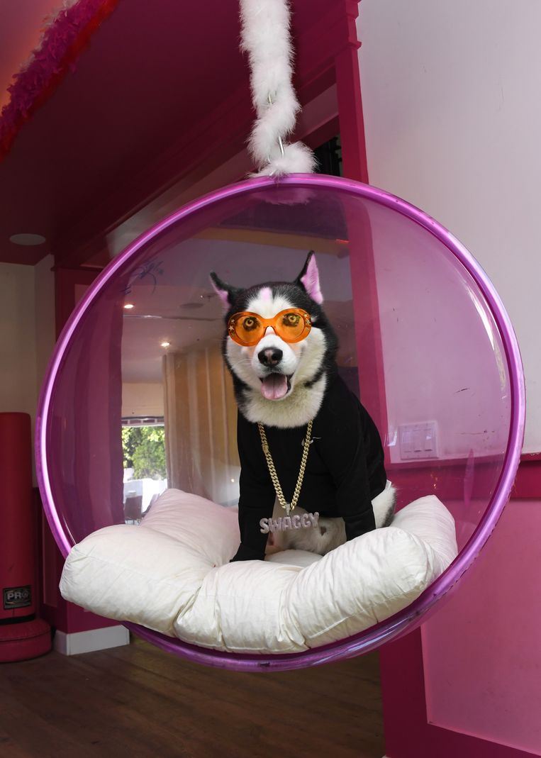 TikTok influencer Swaggy Wolfdog Beeld Getty Images