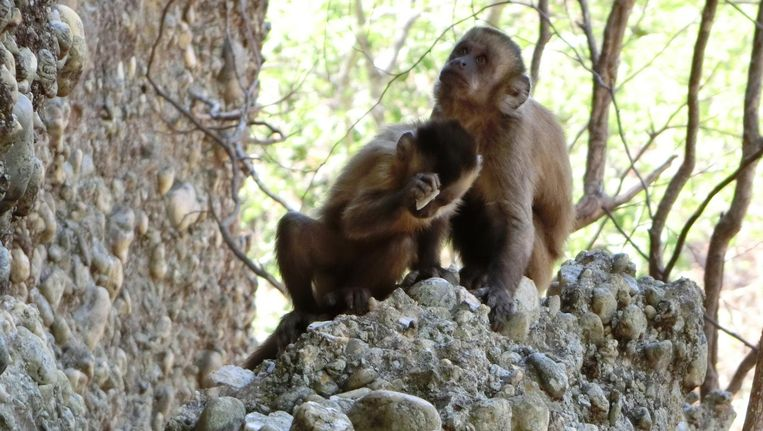 Een kapucijnaapje in het Braziliaanse natuurpark Serra da Capivara slaat een kei kapot op een andere steen. Beeld M. Haslam