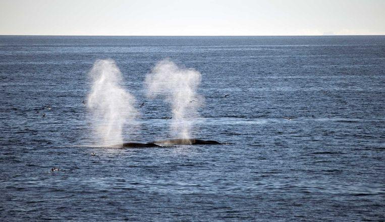 Een walvis bij het eiland Edgeøya. Beeld anp