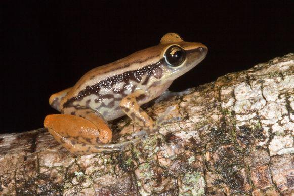Onder andere deze kikkersoort - eleutherodactylus richmondi - staat op de rode lijst.
