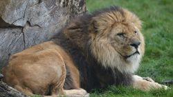 Bellewaerde verliest icoon: enige mannelijke leeuw van pretpark overleden