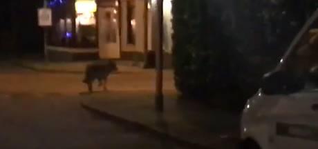 Wolf gespot in Veenendaal, maar je kunt nog gewoon naar buiten