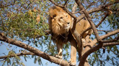 Te weinig geld voor Afrikaanse wildparken brengt leeuwenpopulatie in gevaar