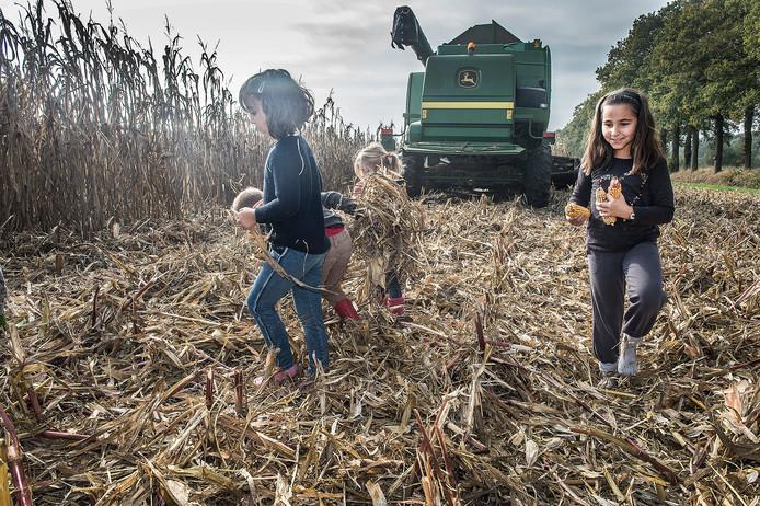 Kinderen rapen maiskolven na het oogsten van het maisdoolhof bij de familie Hopman in Malden.
