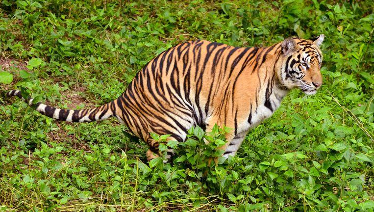 Dna uit tijgerontlasting kan helpen bij de opsporing van stropers. Beeld Alamy Stock Photo
