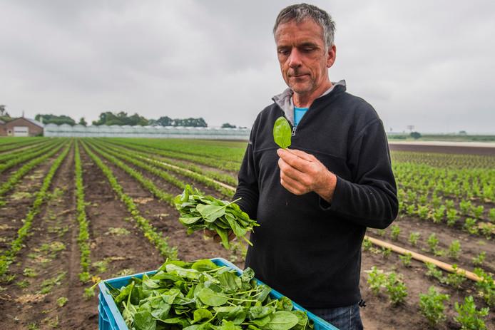 Johan Luijkx uit Breda tussen zijn spinazie op het veld bij Prinsenbeek. Het seizoen is in volle gang.