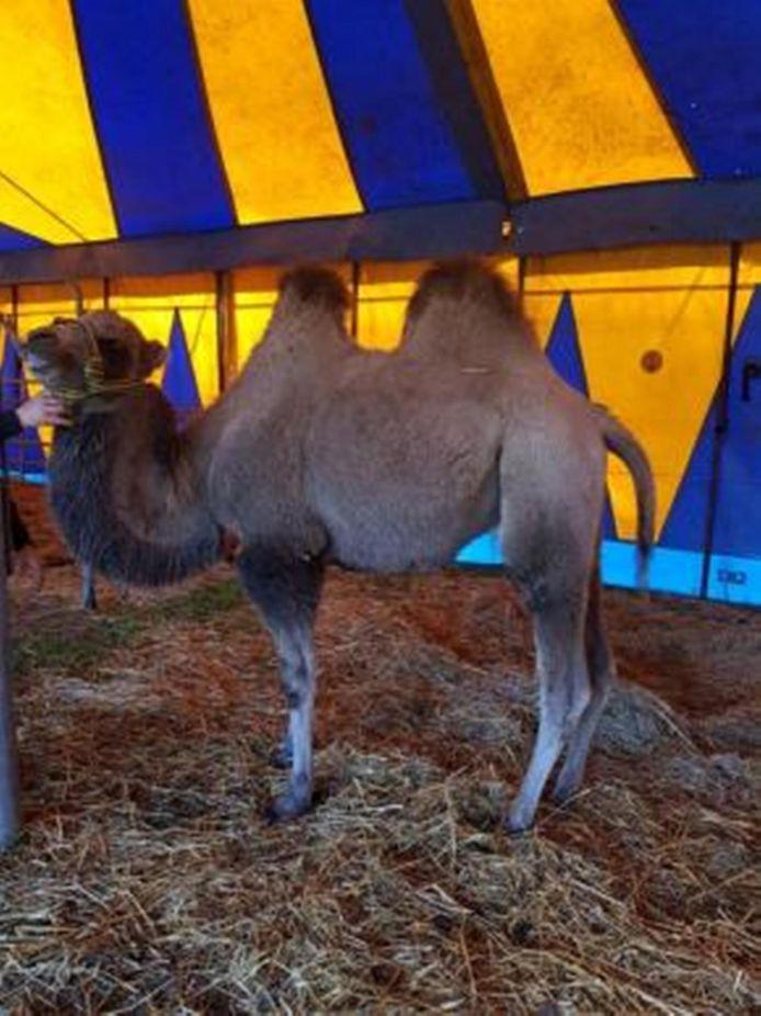 De kameel  die te koop staat.