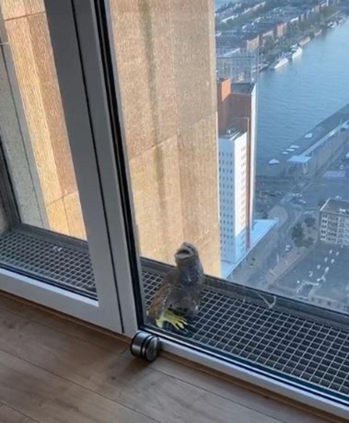 De jonge uil zat vast op het balkon op de 42ste verdieping van de New Orleans in Rotterdam.