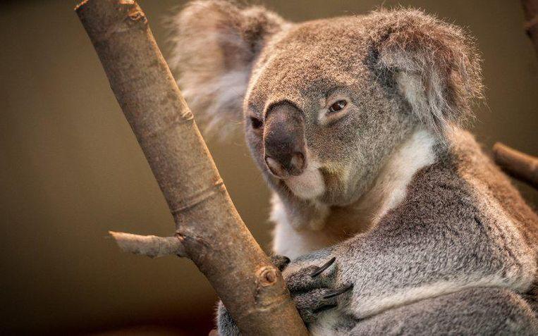 De koala kwam op 24 oktober 2016 in de Zoo terecht.