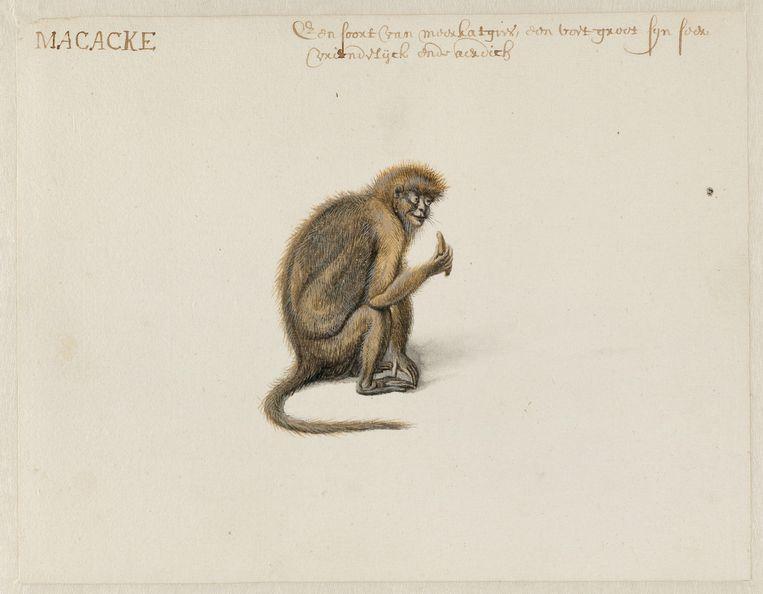 Een makaak. Beeld null