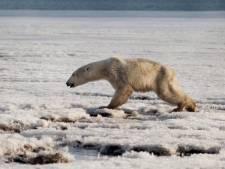Vermoeide ijsbeer duikt 700 kilometer van huis op in Rusland