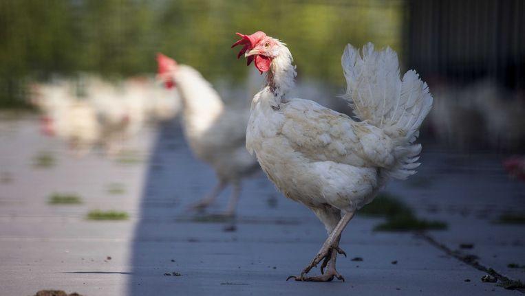 In Bitsingen (Luik) werd een nieuwe besmetting met vogelgriep vastgesteld.