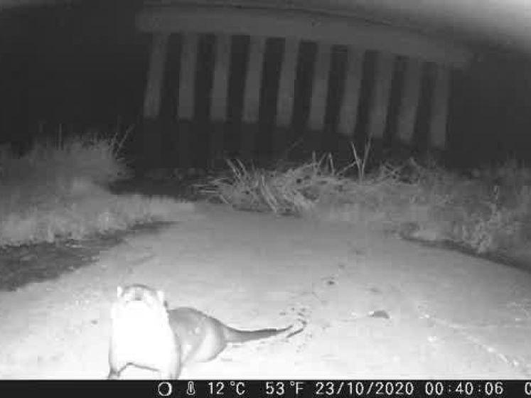 Dit zijn de langverwachte beelden, otter steekt grens over