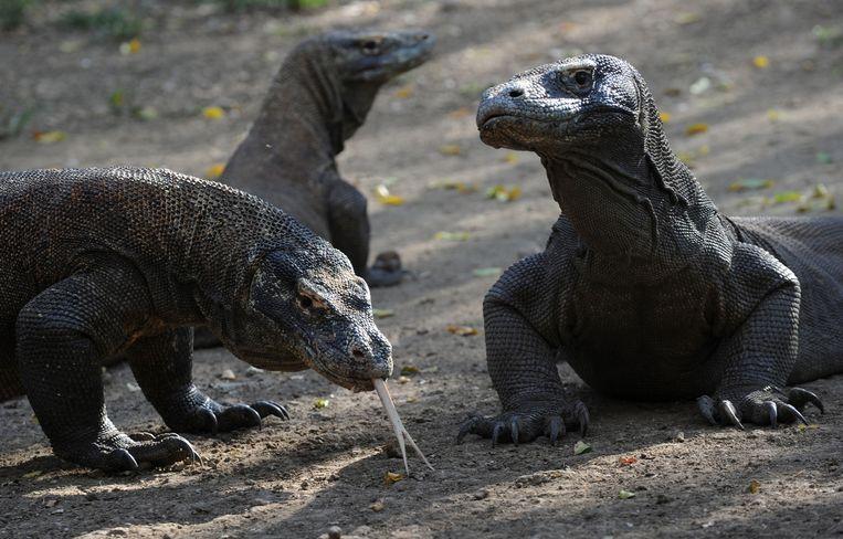 Enkele komodovaranen uit het Nationaal park Komodo.