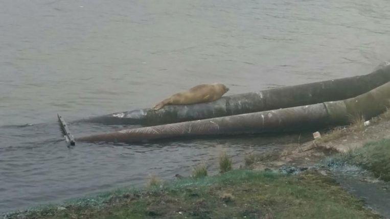 Zeehonden vinden eten in de Schelde en vertoeven er dus graag.