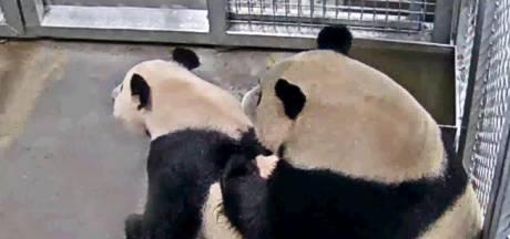 Parende panda's trekken veel bezoekers naar Ouwehands Dierenpark in Rhenen