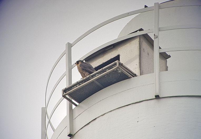 De slechtvalk bij de nest bovenaan de schouw van Mirom.