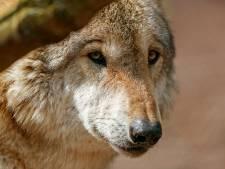 Europarlementariër uit Hengevelde wil wolf met geweer te lijf gaan