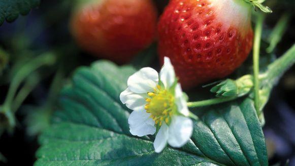Archiefbeeld: aardbeiplant